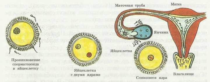 Их внешнесекреторная функция заключается в образовании и выделении яйцеклеток и сперматозоидов